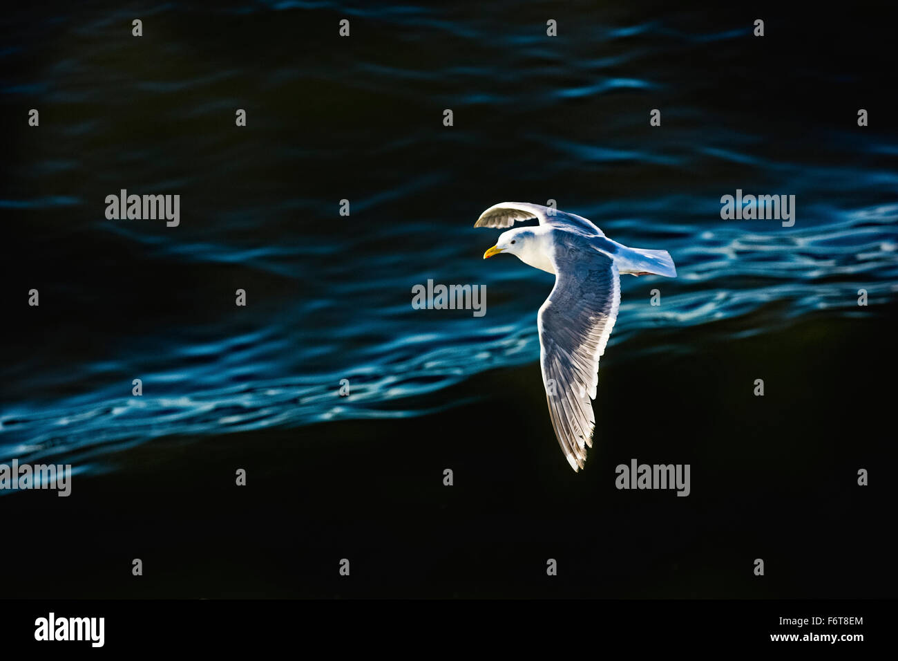 Seagull flying over rippling water - Stock Image