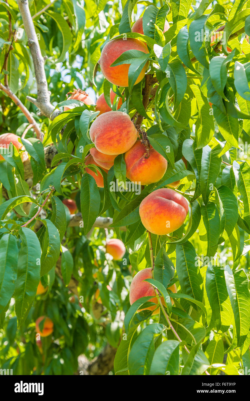 Peach tree in orchard, Kelowna, BC, Canada - Stock Image