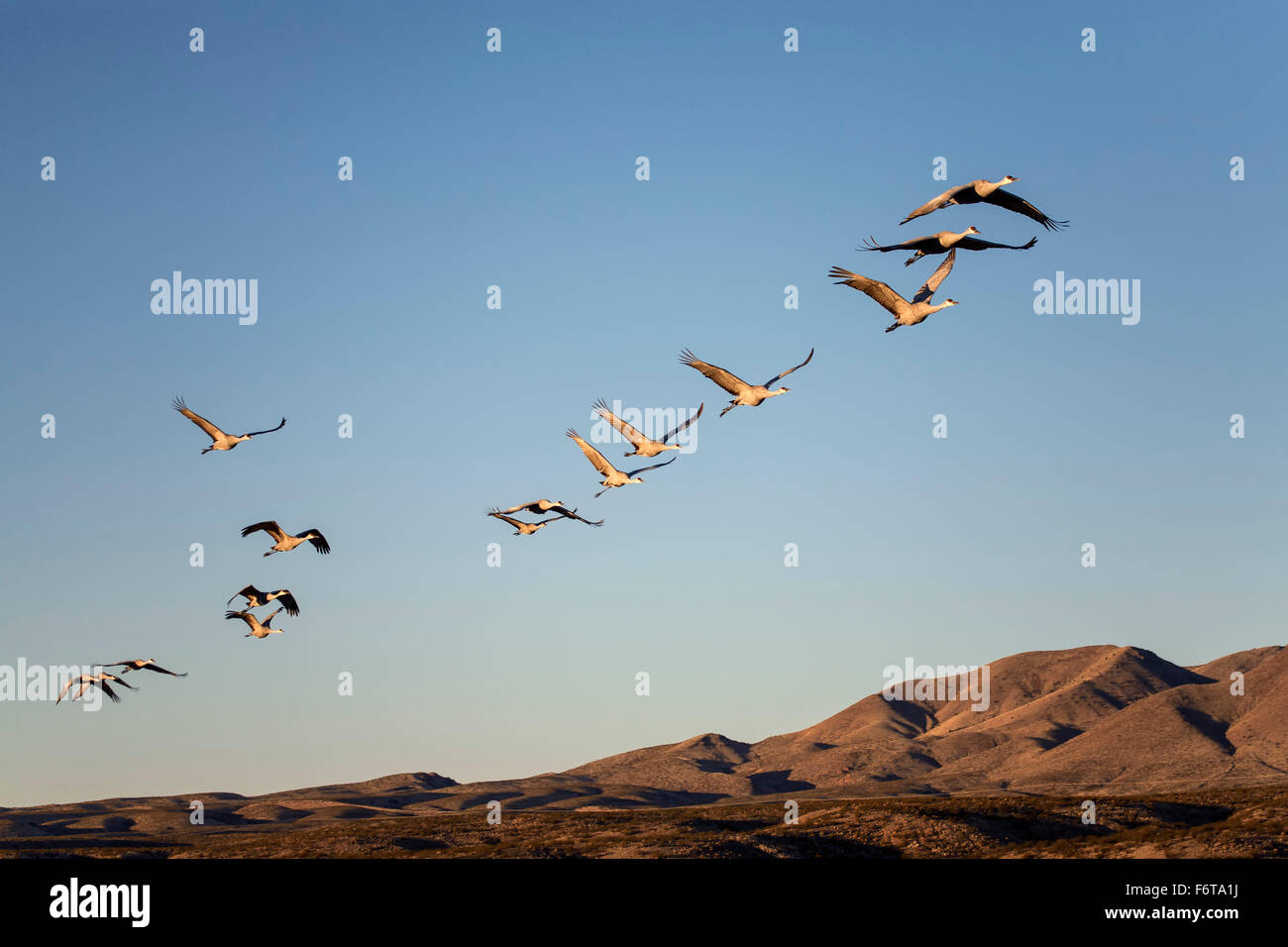 Sandhill Cranes (Grus canadensis) flying in formation, Bosque del Apache National Wildlife Refuge, near Socorro, - Stock Image