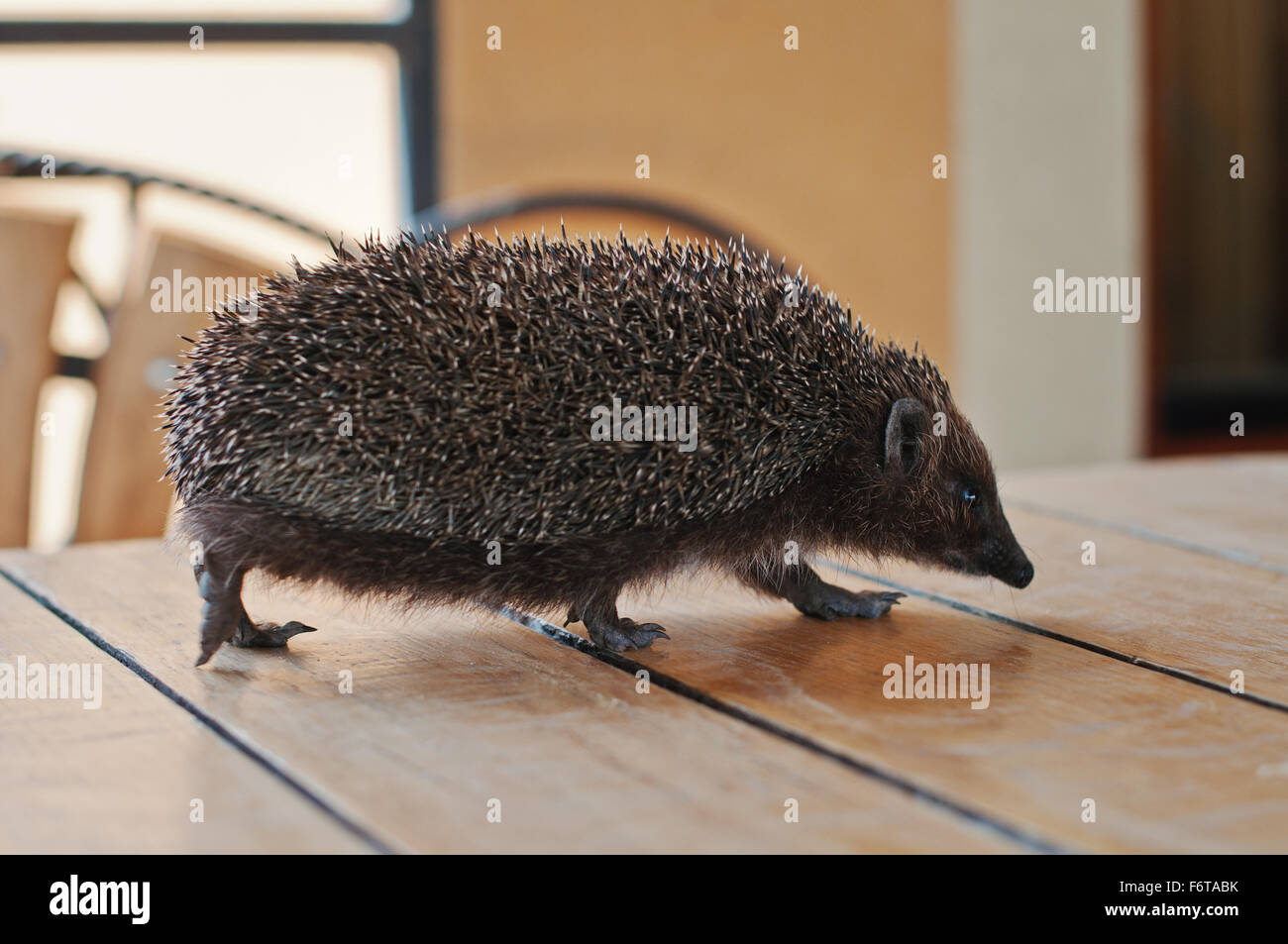 hedgehog on the wooden table - Stock Image