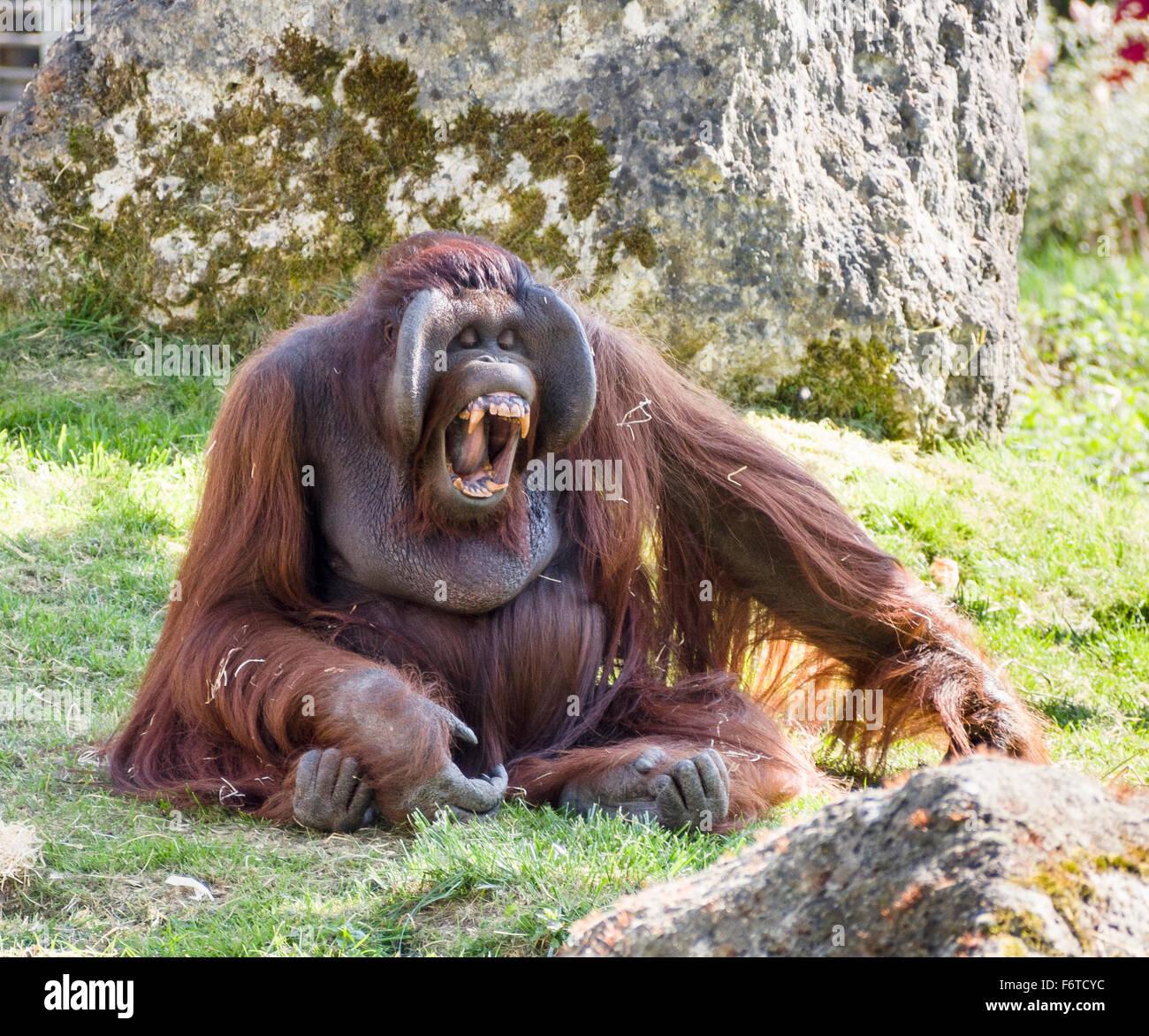 Orangutan Showing his Incisors . A large male orangutan calls out and displays a massive set of orange teeth - Stock Image