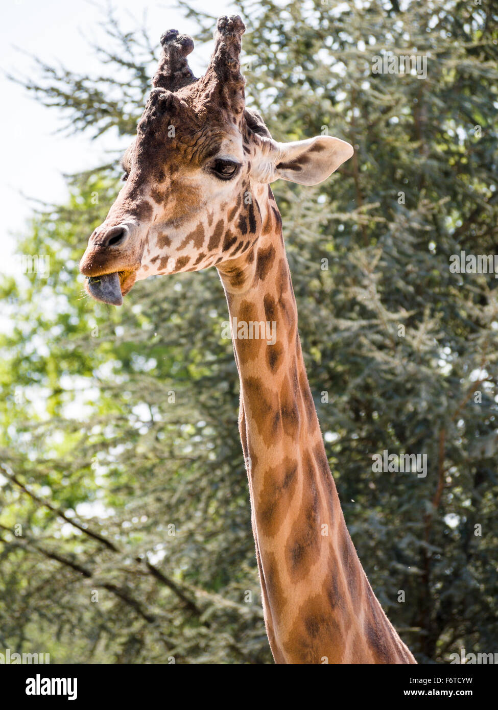 Giraffe eating and licking its lips. A Giraffe with trees behind chews on some food with a saliva covered tongue - Stock Image