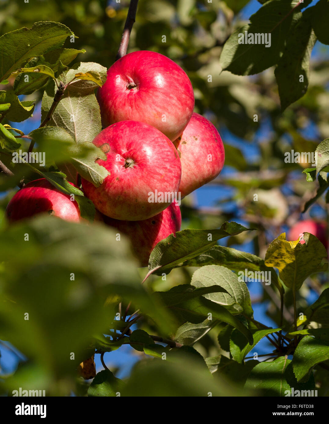 Ripe Red apples, with a bit of scab. A cluster of red apples on an abandoned orchard tree with a little disease - Stock Image