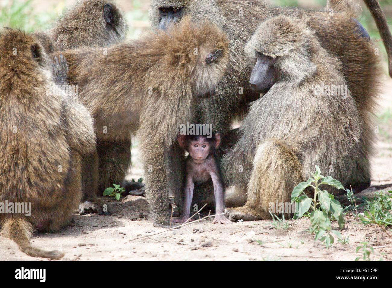 Group of Olive Baboons protecting a baby, Lake Manyara National Park, Tanzania. Stock Photo