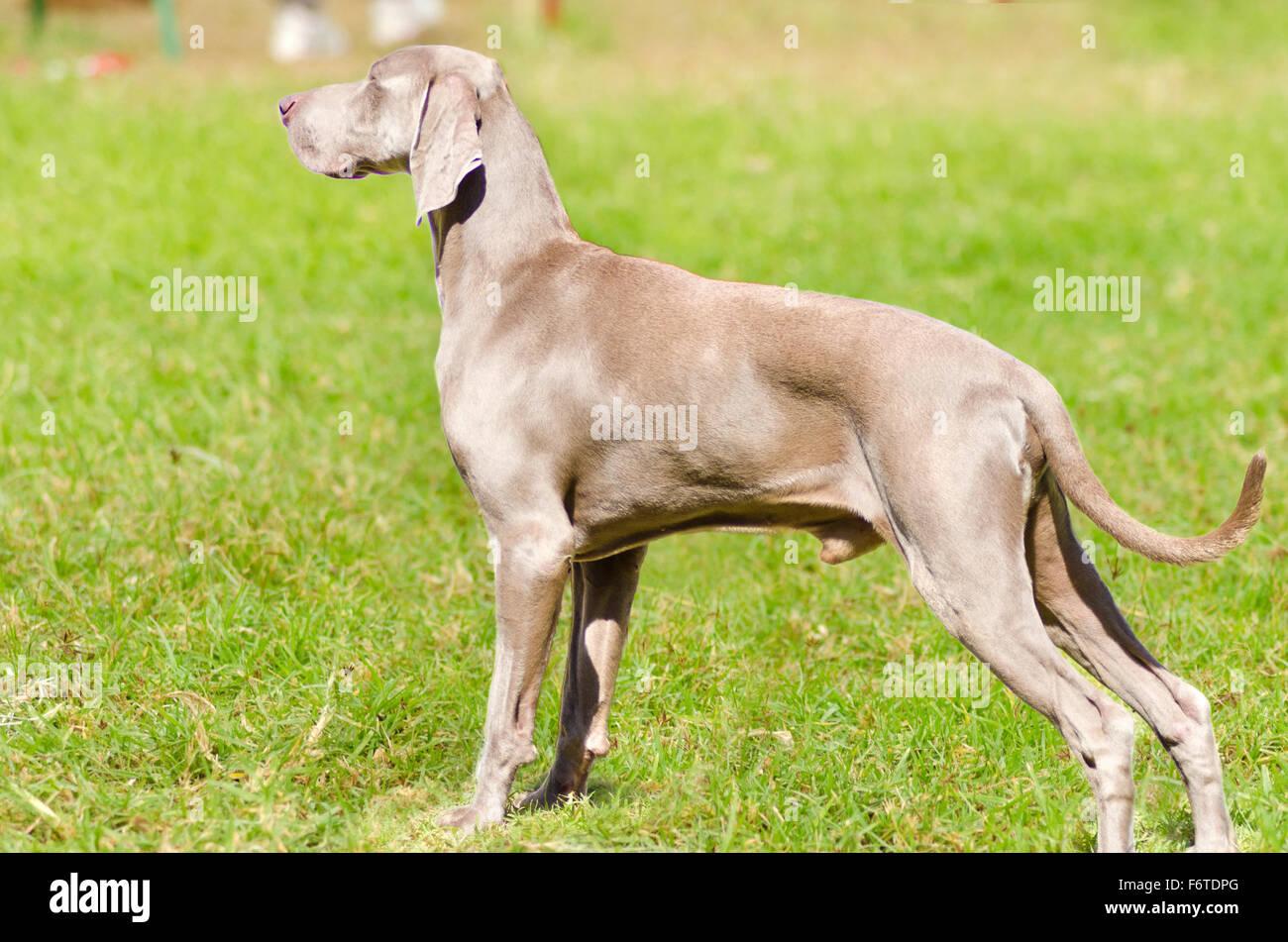 Blue Weimer Dog