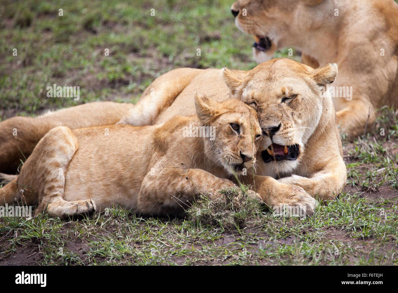 Lioness and cub rubbing heads, Serengeti, Tanzania, Africa - Stock Image