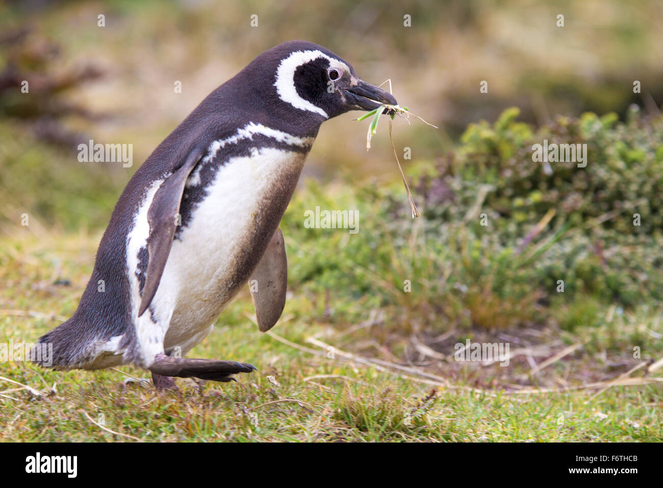 Magellanic penguin gathering nest materials. Gypsy Cove, Falkland Islands - Stock Image