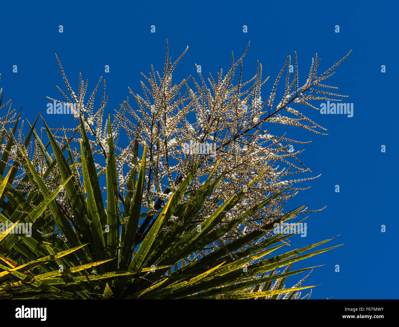 Cabbage Tree Cordyline Australis Flowers Stock Photo Alamy