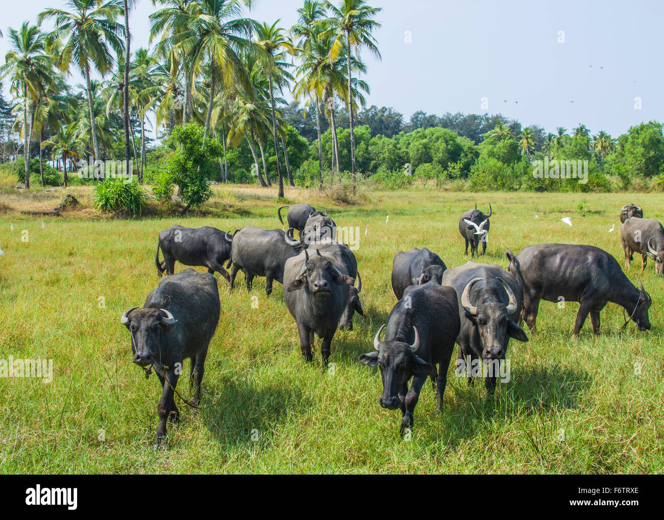 Bull pasture of animals animal husbandry - Stock Image