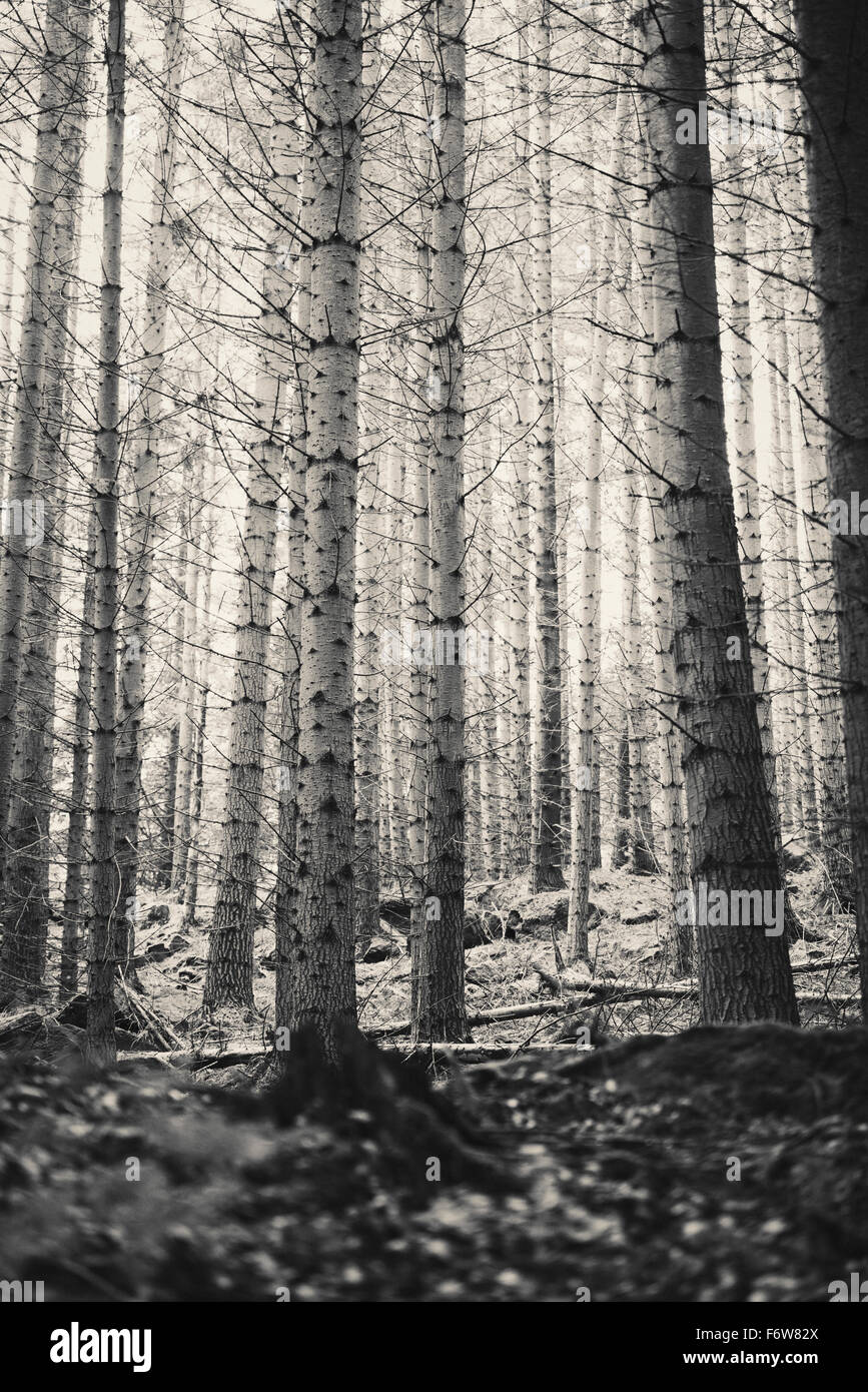 Trees in dark and spooky forest. Wilderness with no people. - Stock Image