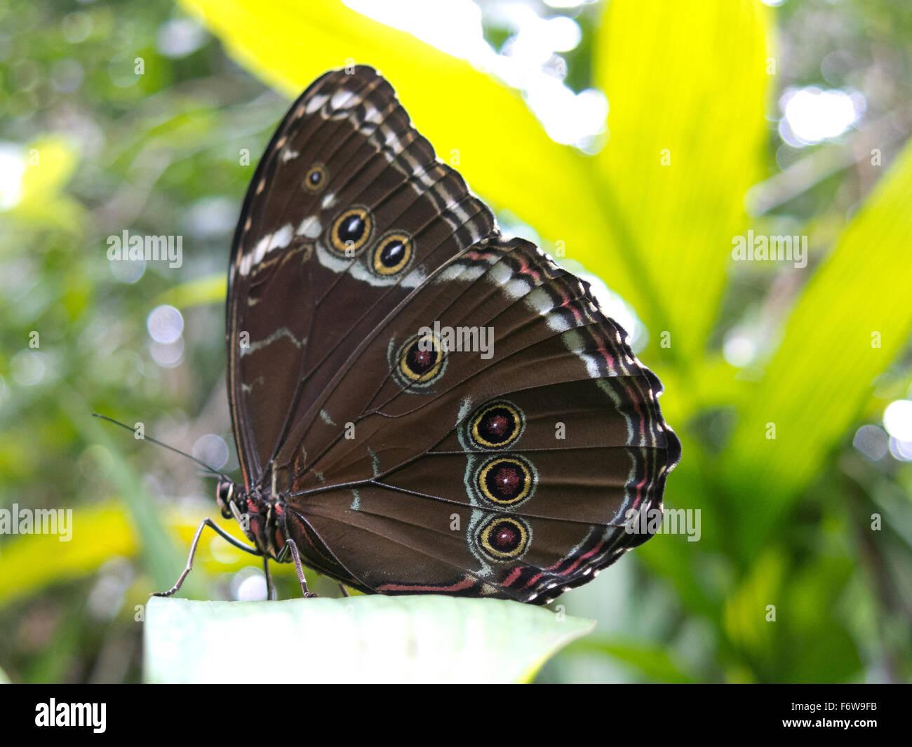 Owl butterfly, Caligo sp., in Amazon rainforest. Madidi Park, La Paz Region. Bolivia. - Stock Image