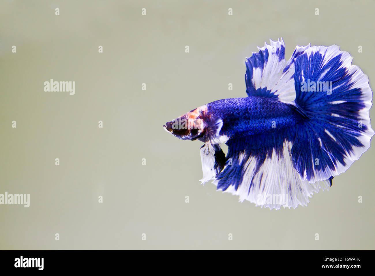 Betta fish, siamese fighting fish, betta splendens (Halfmoon betta ) swimming in the aquarium tank Stock Photo