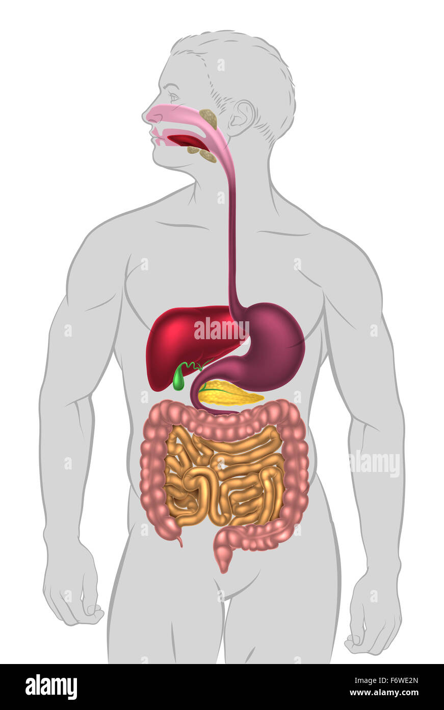 An Illustration Of The Human Digestive System Digestive Tract Or