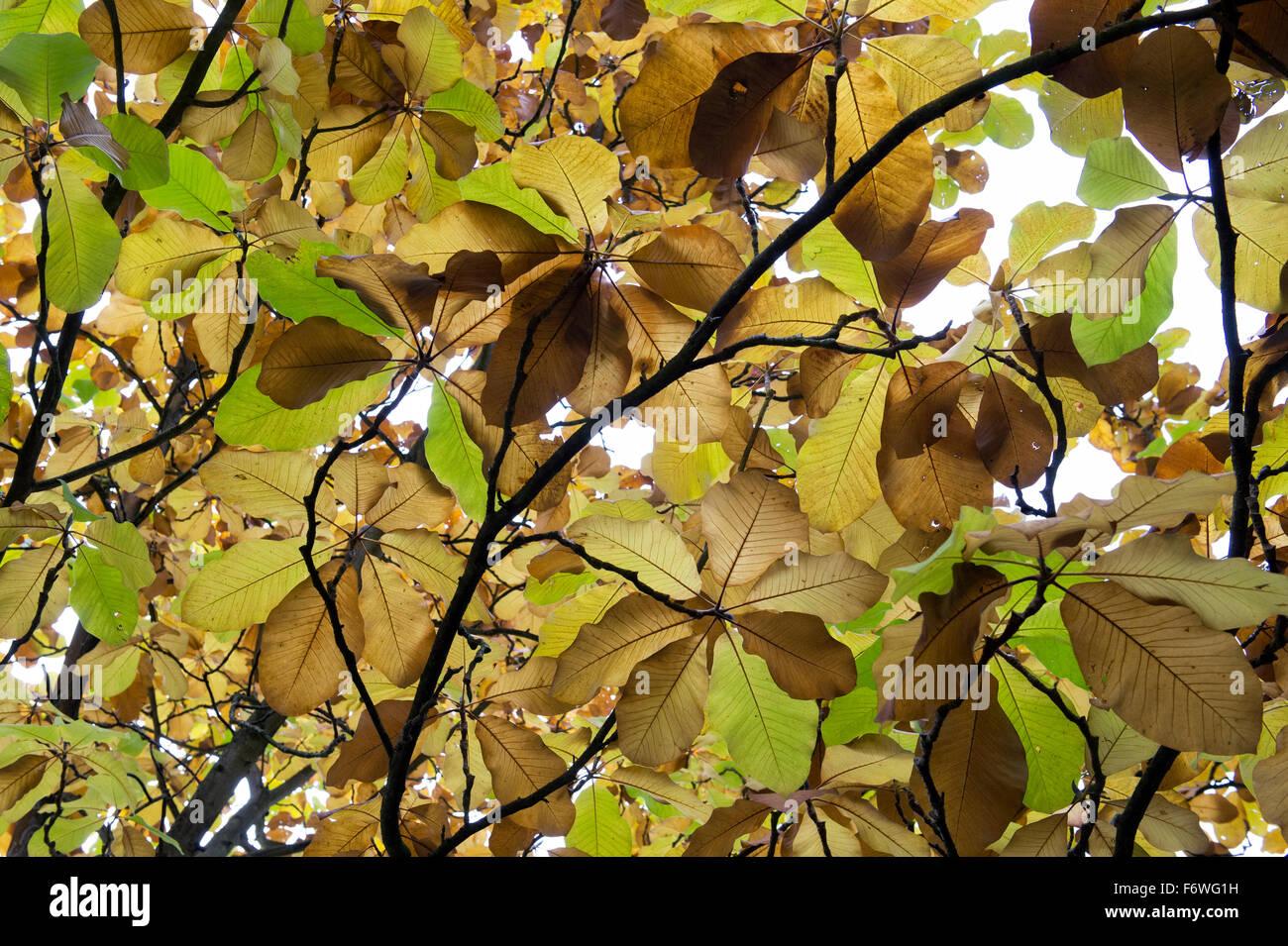 Magnolia Leaves Stock Photos Magnolia Leaves Stock Images Alamy