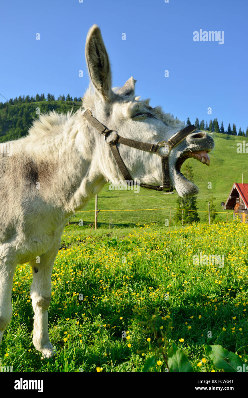 Donkey standing in a flowering meadow and braying, Spitzing, Bavarian Alps, Upper Bavaria, Bavaria, Germany - Stock Image