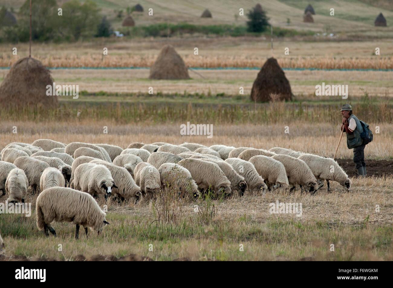 Shepherd near the village of Rimetea, Alba, Transylvania, Romania - Stock Image