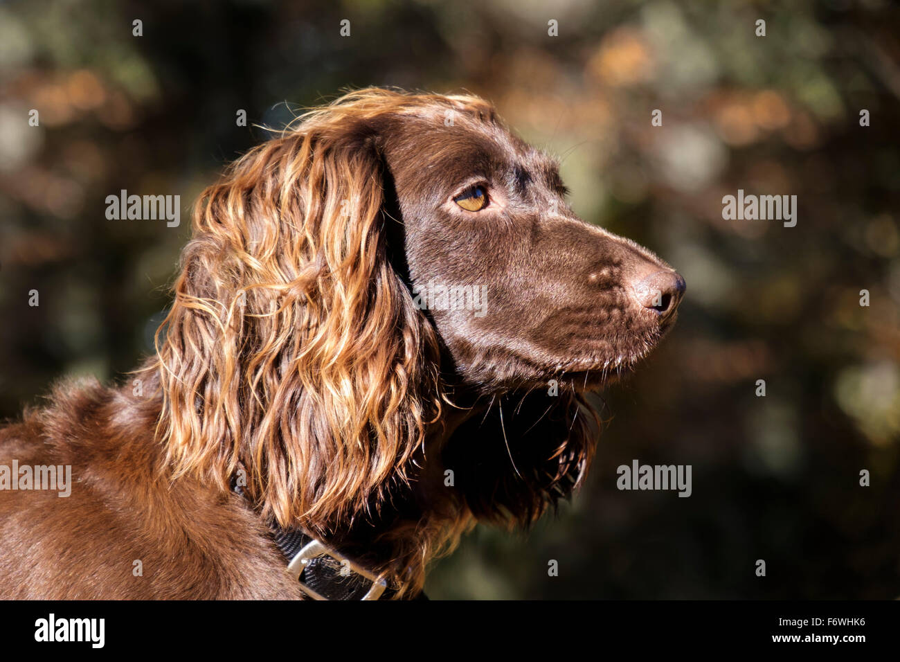 Chocolate brown (liver) English Cocker Spaniel pet dog head portrait side view outdoors in woodland. UK Britain - Stock Image