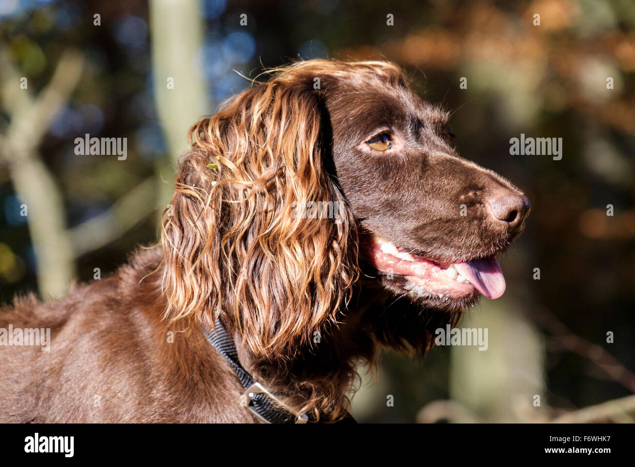 Chocolate brown (liver) English Cocker Spaniel pet dog head portrait side profile in woodland outdoors. UK Britain - Stock Image