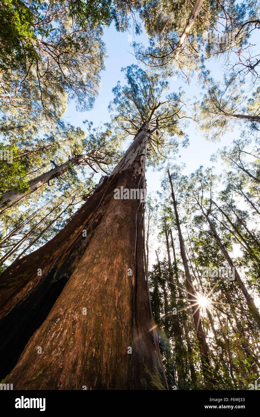 Eucalyptus regnans, Baw Baw, Victoria, Australia - Stock Image