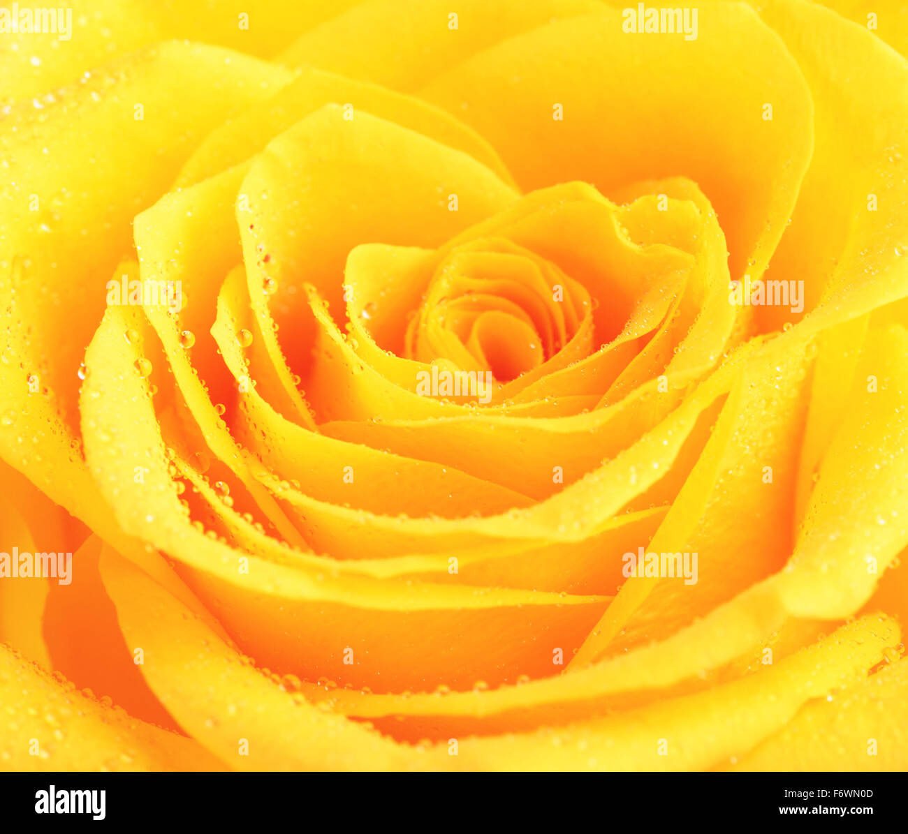 Single Yellow Rose Flower Background Close Up Stock Photo 90305053