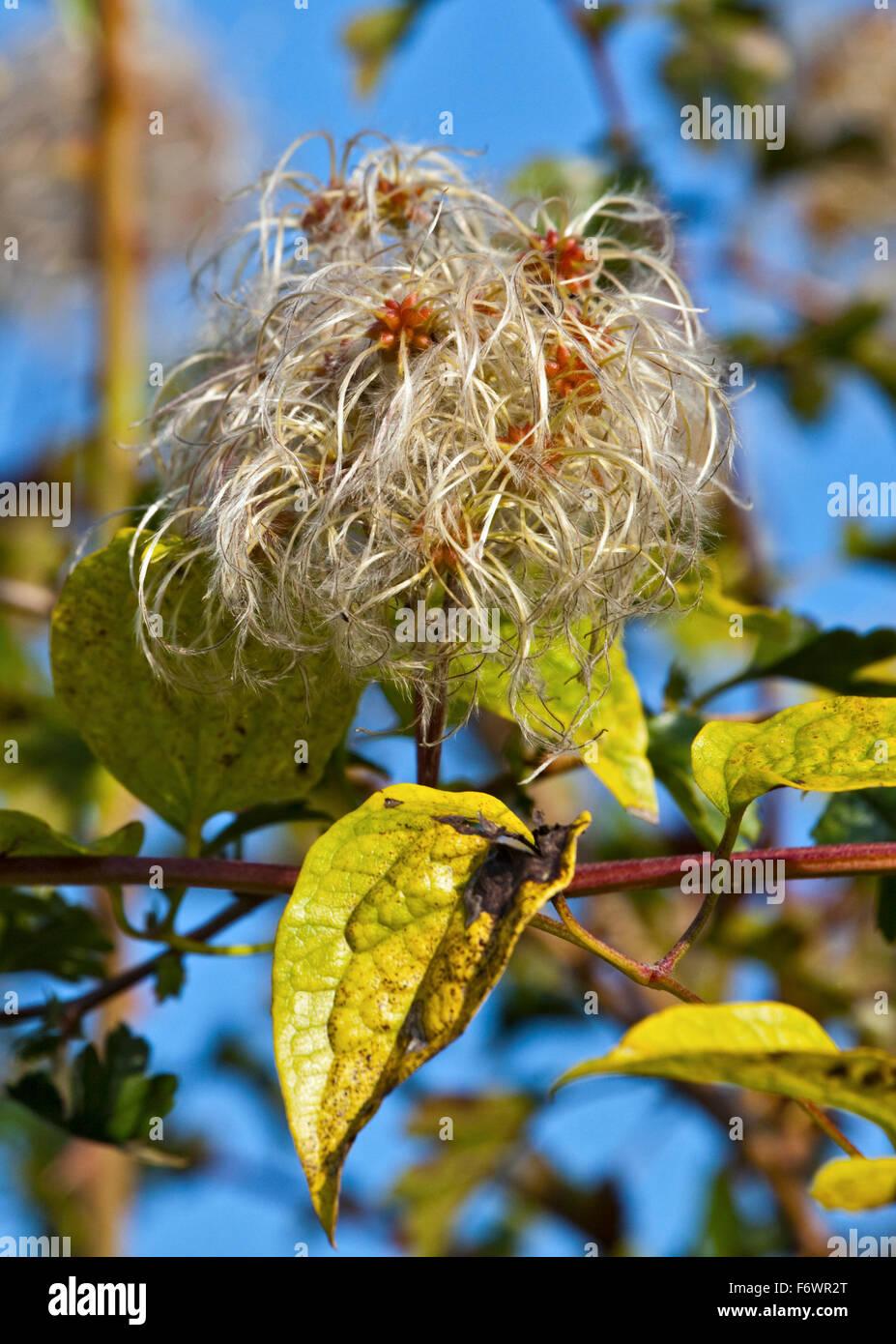 Old Man's Beard (clematis vitalba) seedhead - Stock Image