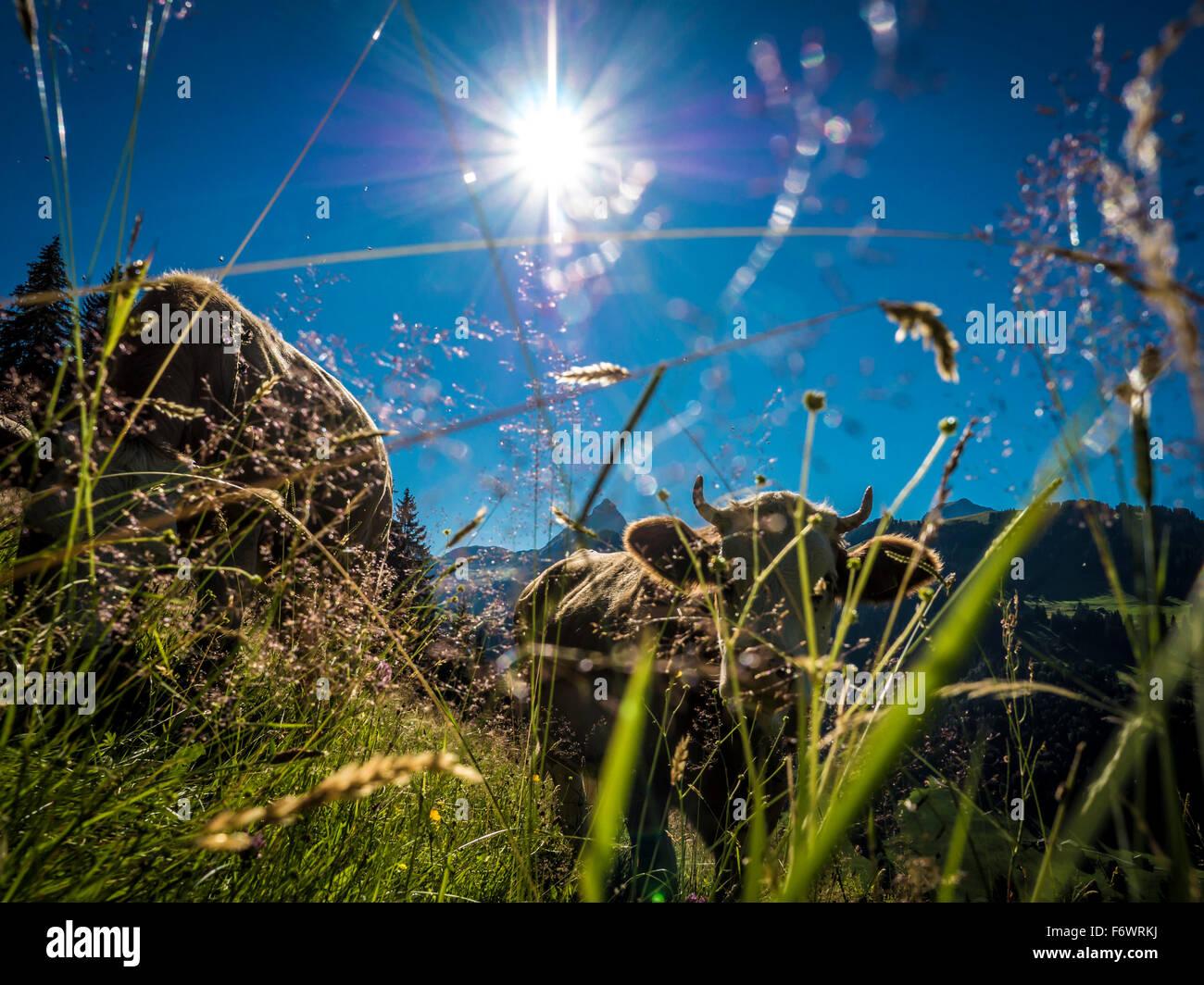 Cattle grazing, Bodme Alp, Gstaad, Canton of Bern, Switzerland - Stock Image