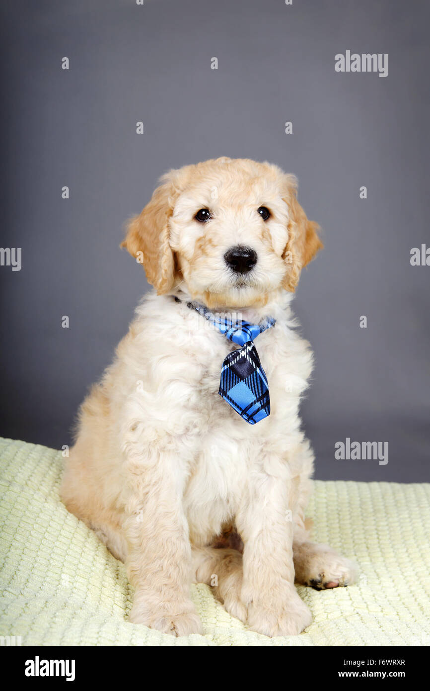 Cute goldendoodle puppy with plaid tie Stock Photo