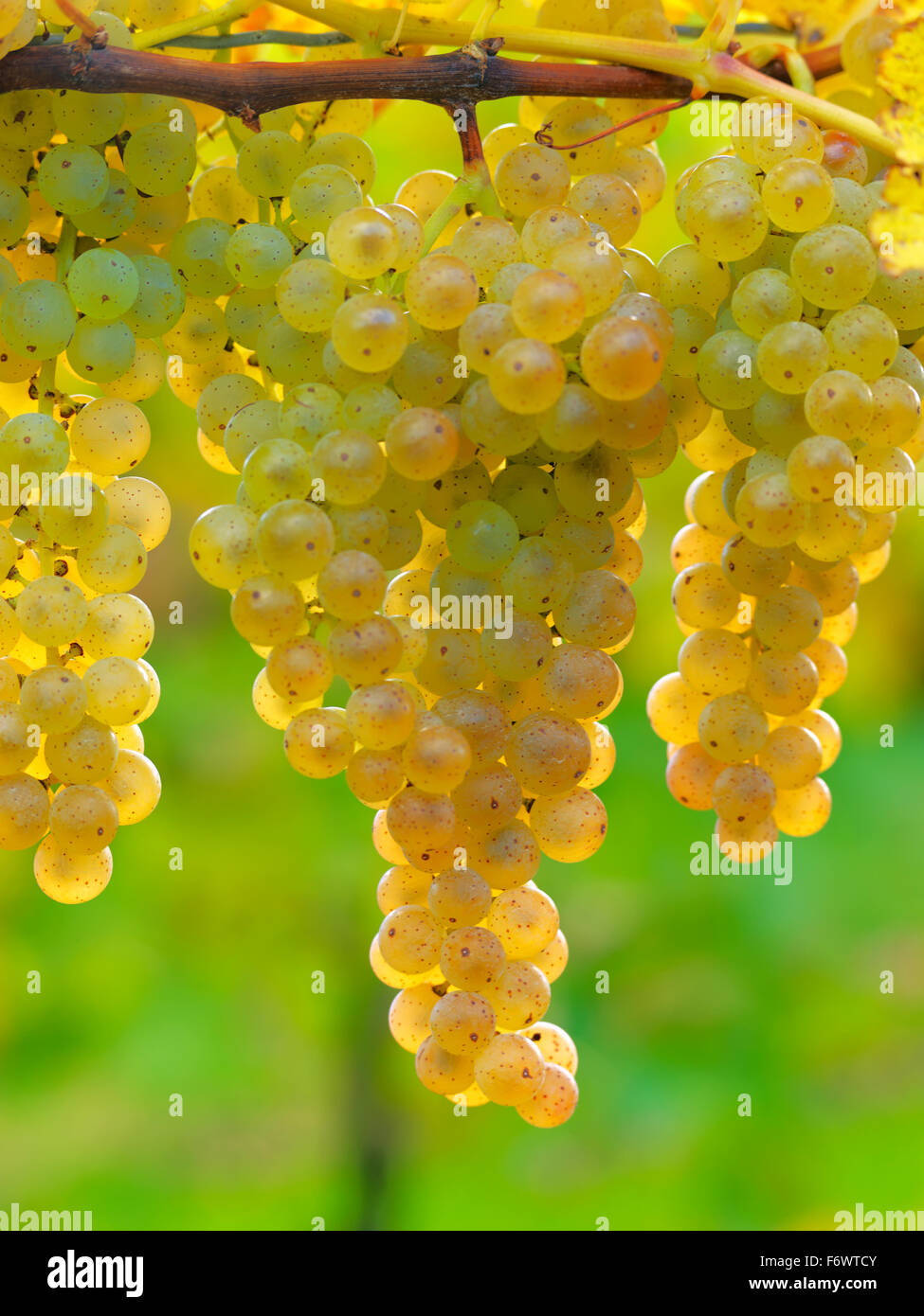 Canada,Ontario,Niagara-on-the-Lake, ripe white grapes on the vine light by sunlight. Vineyard grapes for white wine Stock Photo