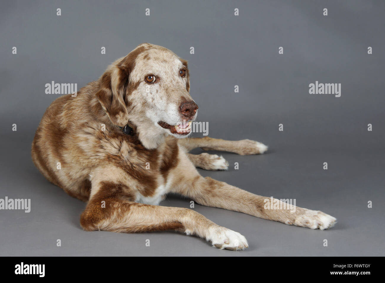 Beautiful big mixed labrador and Australian shepherd dog in studio - Stock Image