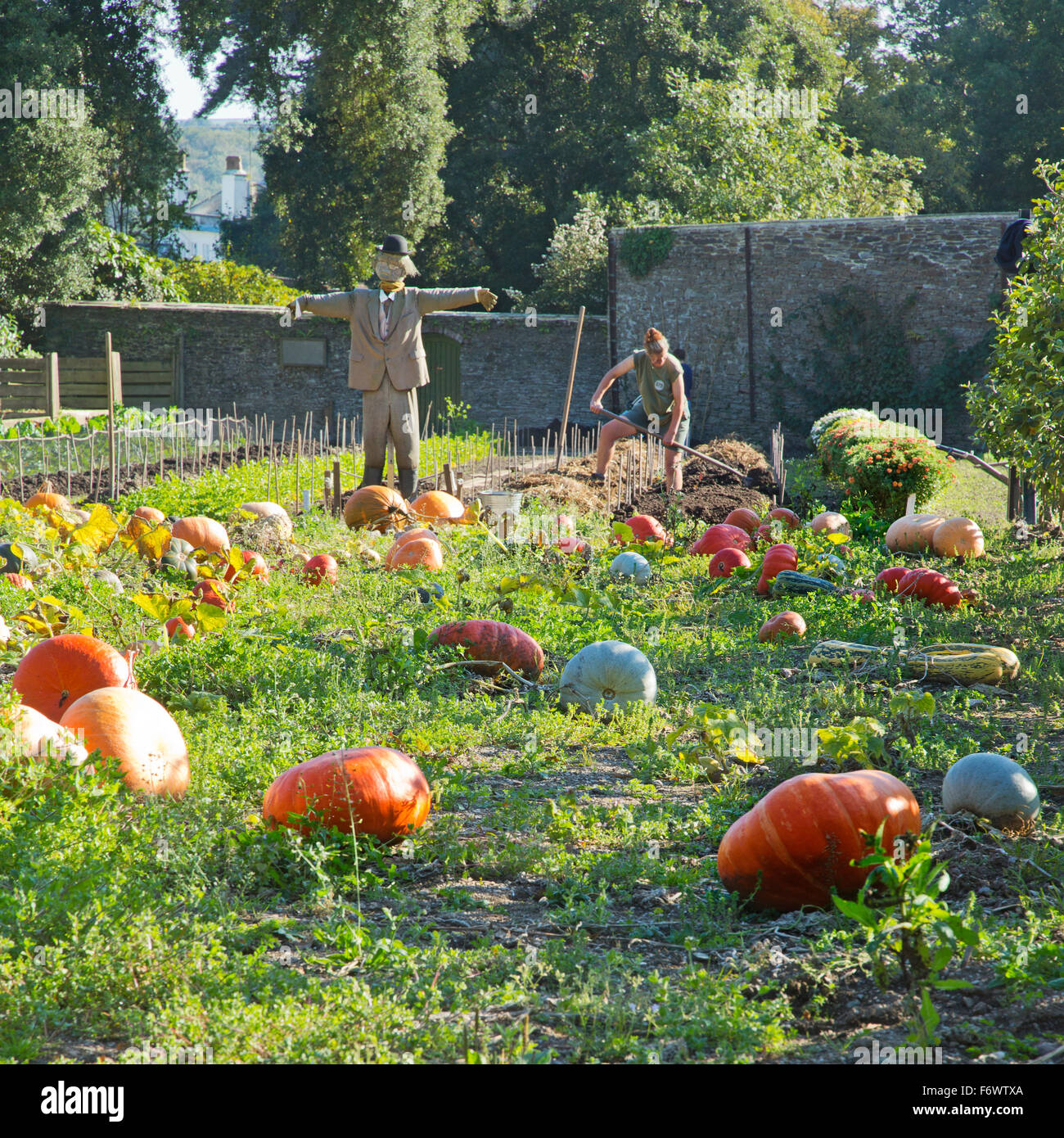 The pumpkin patch in the vegetable garden at the lost gardens of heligan in Cornwall,England,UK - Stock Image