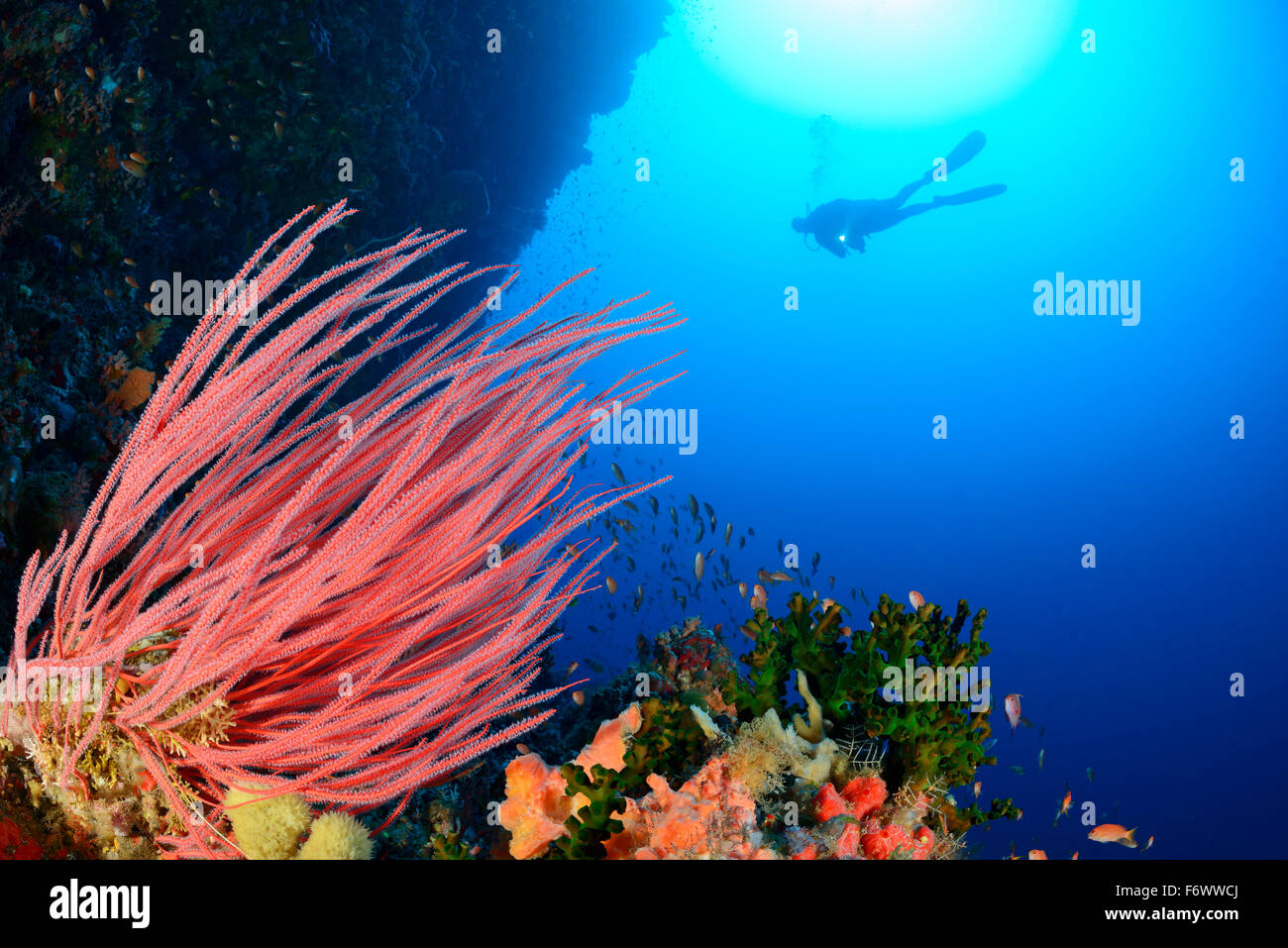 Ellisella cercidia, Coralreef with Sea Whip Coral and scuba diver, Alor, Indonesia, Pantarstrait, Indian Ocean Stock Photo
