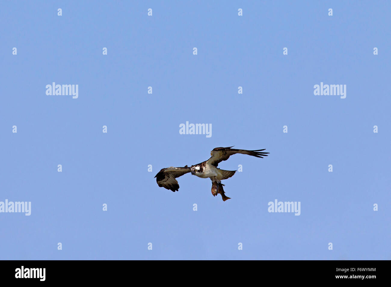 Osprey (Pandion haliaetus) in flight with caught fish in talons - Stock Image