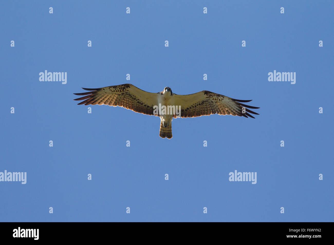Osprey (Pandion haliaetus) soaring against blue sky - Stock Image