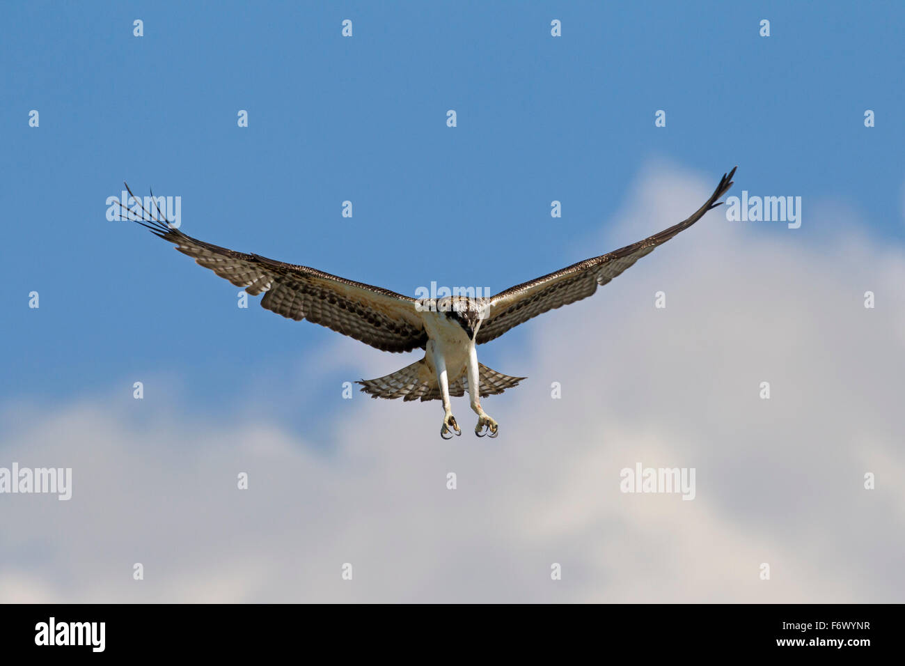 Osprey (Pandion haliaetus) in flight, ready to plunge for fish in lake - Stock Image