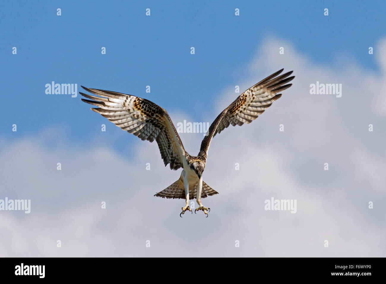 Osprey (Pandion haliaetus) hovering and ready to plunge for fish in lake - Stock Image