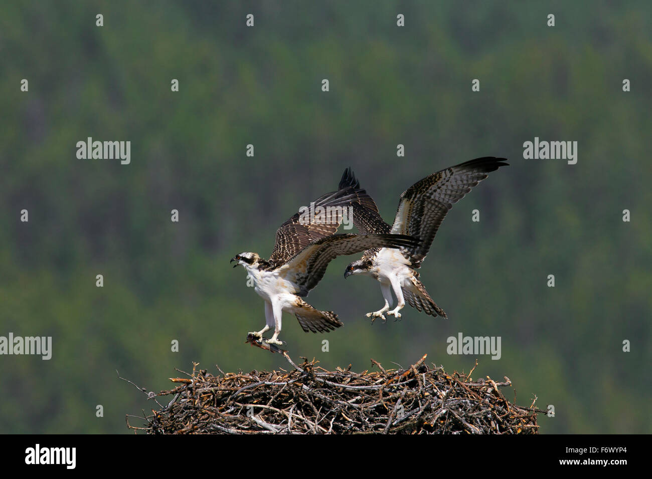 Osprey (Pandion haliaetus) juveniles on nest with fish in summer - Stock Image