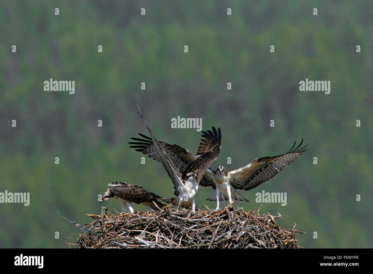 Osprey (Pandion haliaetus) adult bird with two young birds flapping their wings on nest in summer - Stock Image