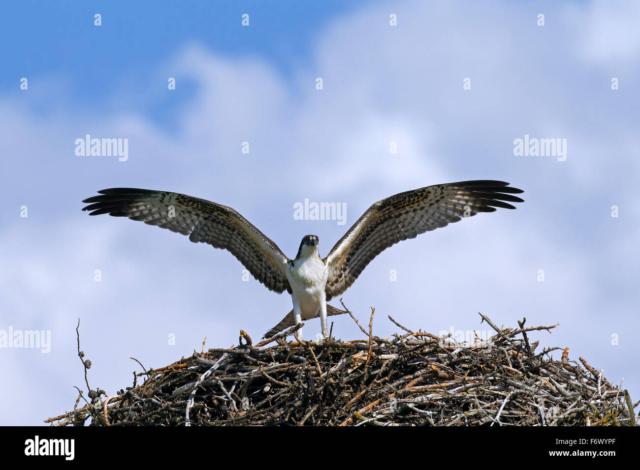 Osprey (Pandion haliaetus) juvenile exercising by flapping wings on nest - Stock Image