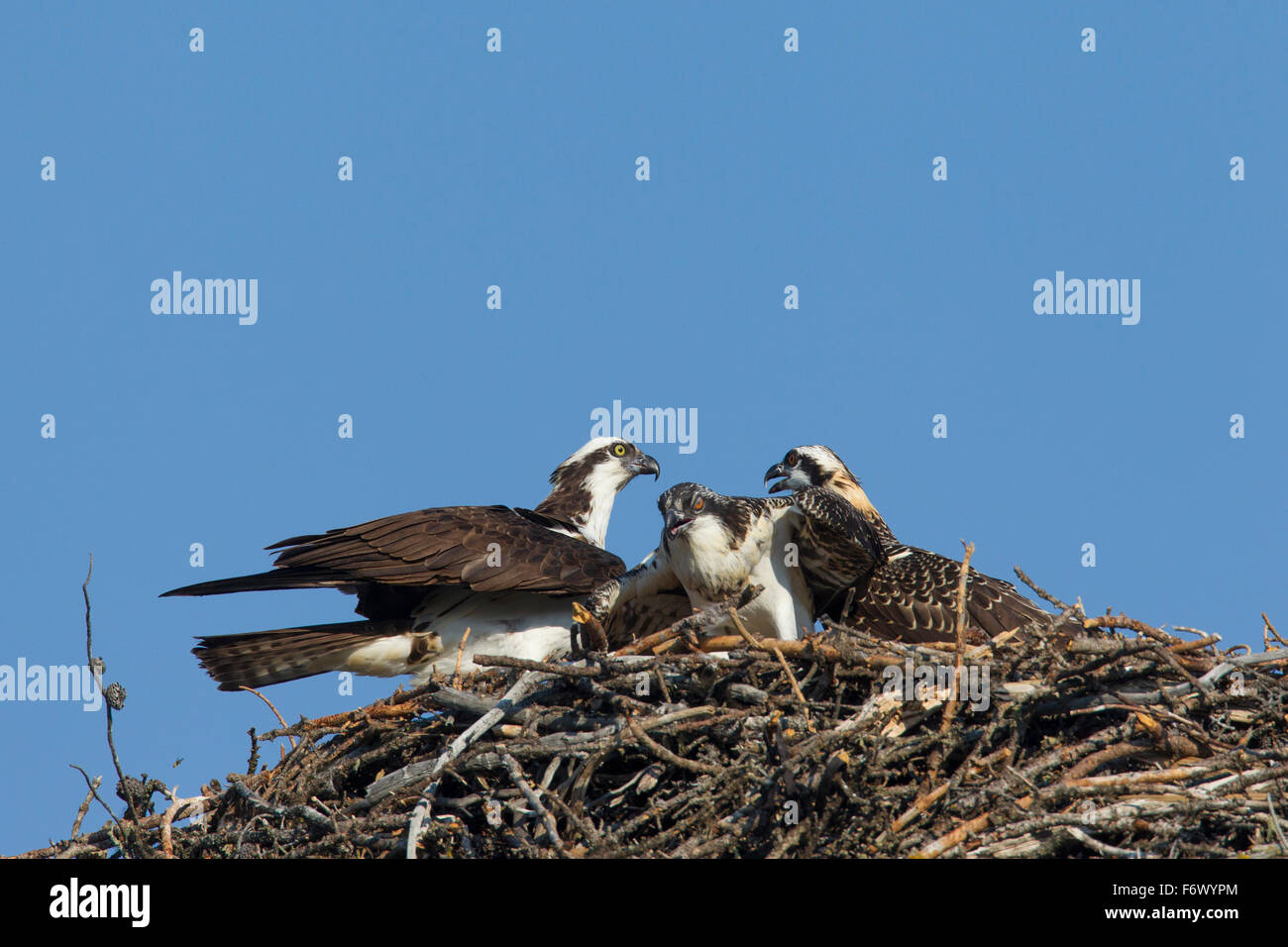 Osprey (Pandion haliaetus) adult bird with two juveniles on nest - Stock Image