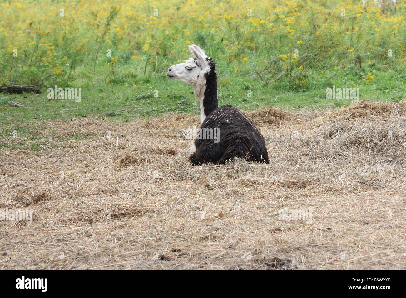 Llama on a small hobby farm, laying in a pile of straw. The Llama is a domesticated South American camelid - Stock Image