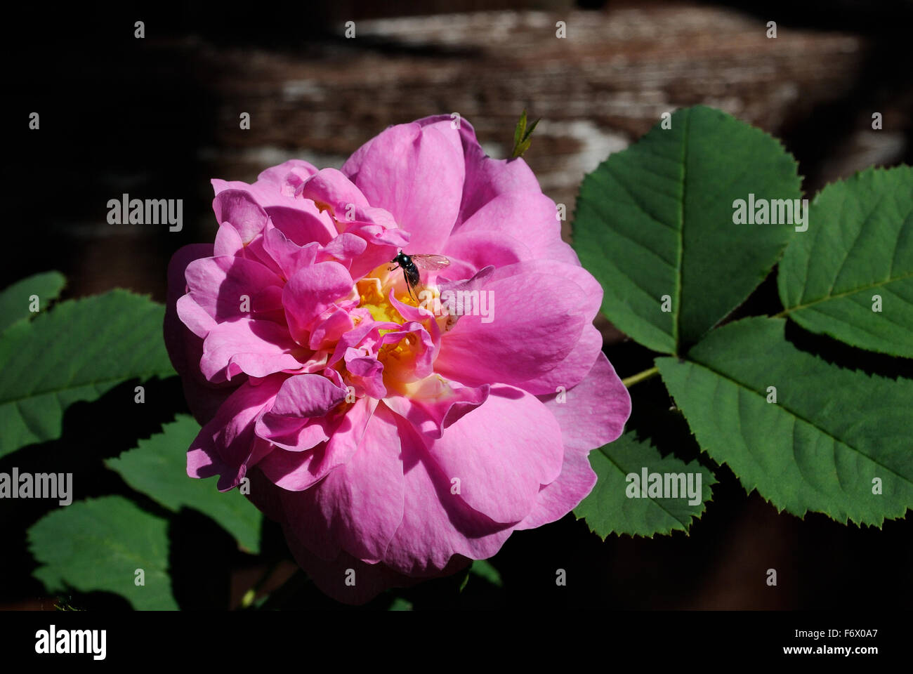 Rose Hip Bush Stock Photos Rose Hip Bush Stock Images Alamy