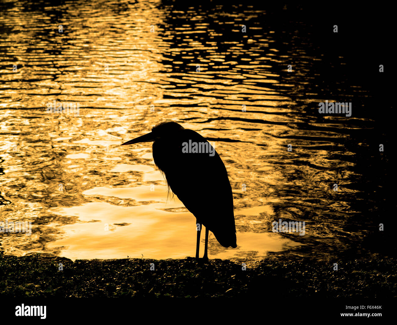 A heron in St James's Park in the morning Stock Photo