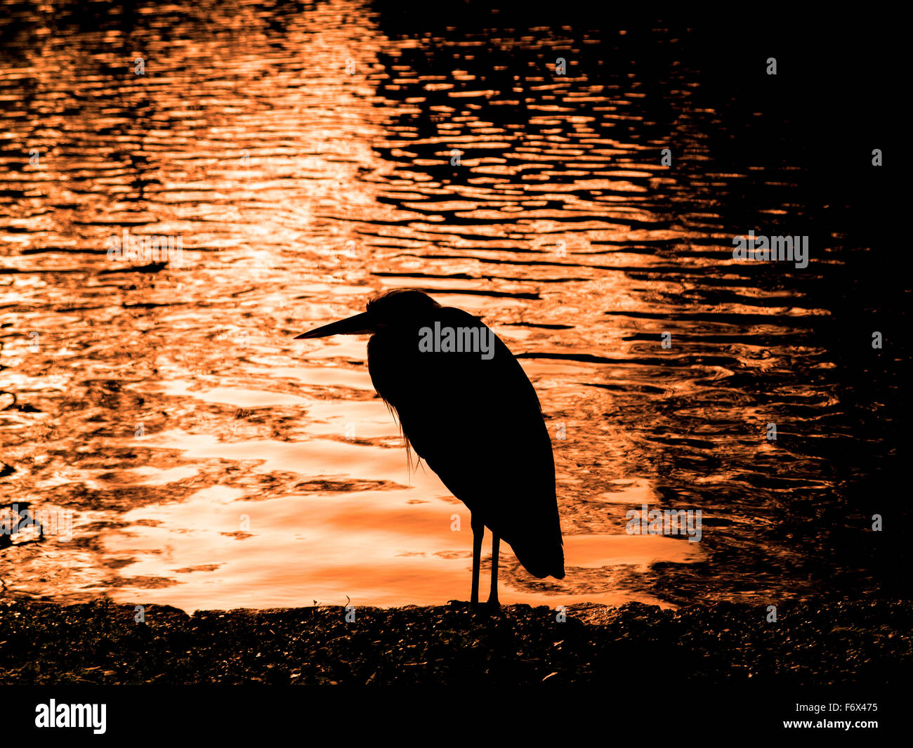 A heron in St James's Park in the morning - Stock Image