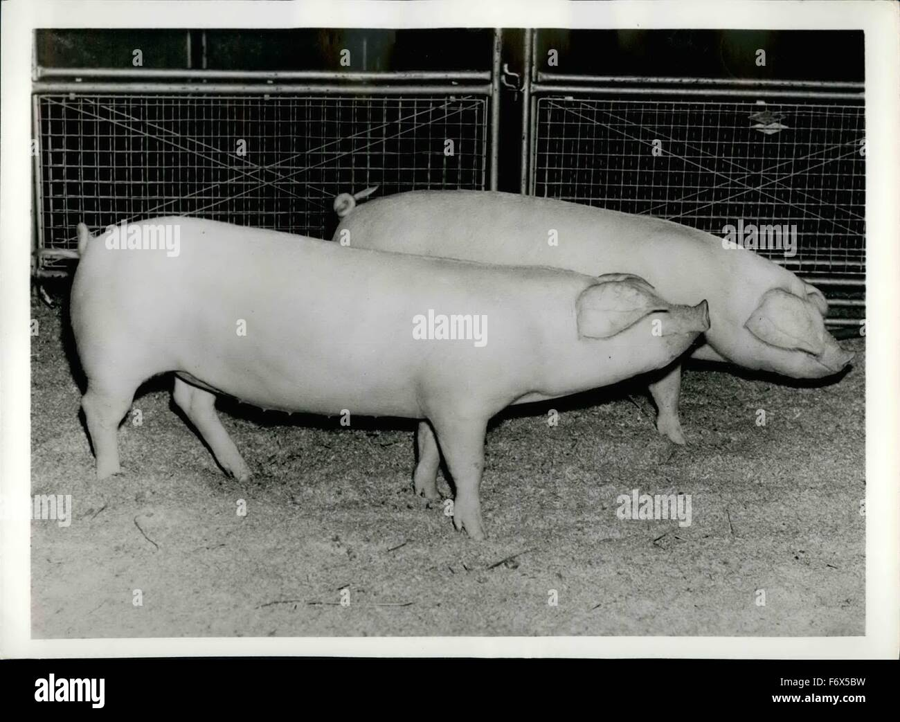 1968 - Winners By A Length. Described as having, fine length for their age and exceptionally good hams pair of August - Stock Image