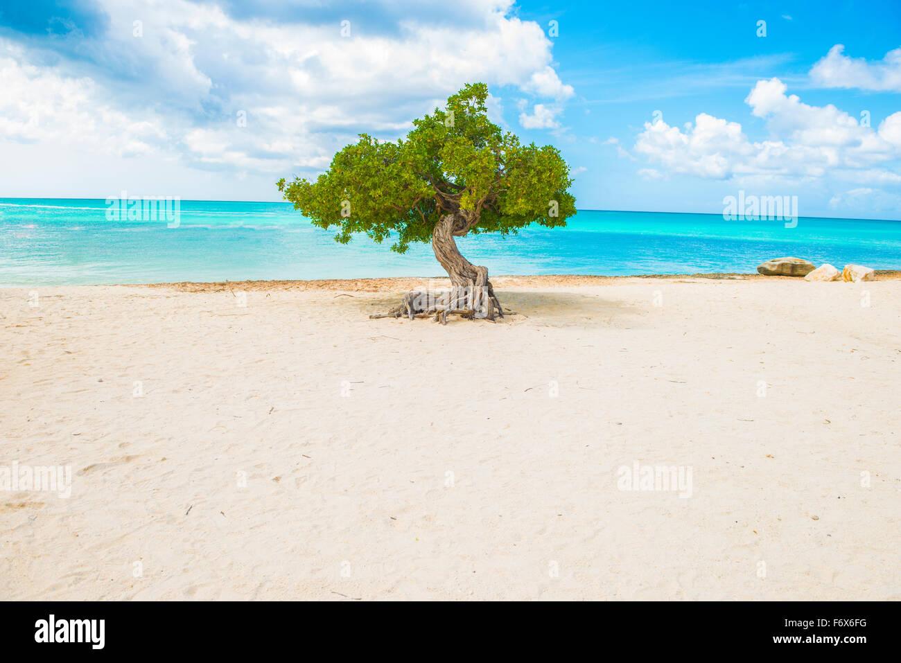 Divi divi tree at Eagle Beach, Aruba,  wind-scuplted native tree, Caribbean Sea - Stock Image