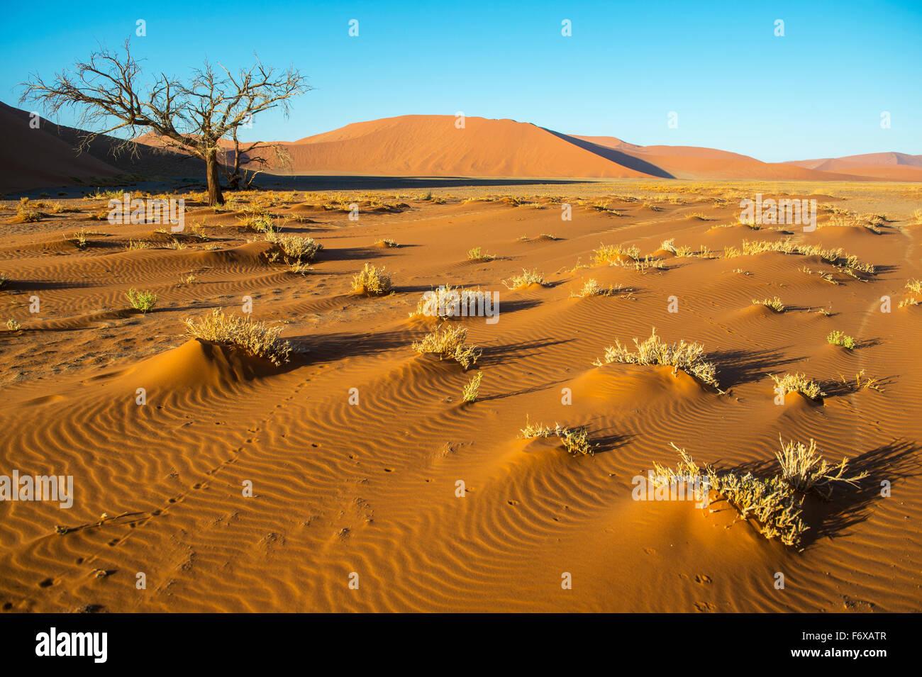 Brush growing in the desert; Sossusvlei, Namibia - Stock Image