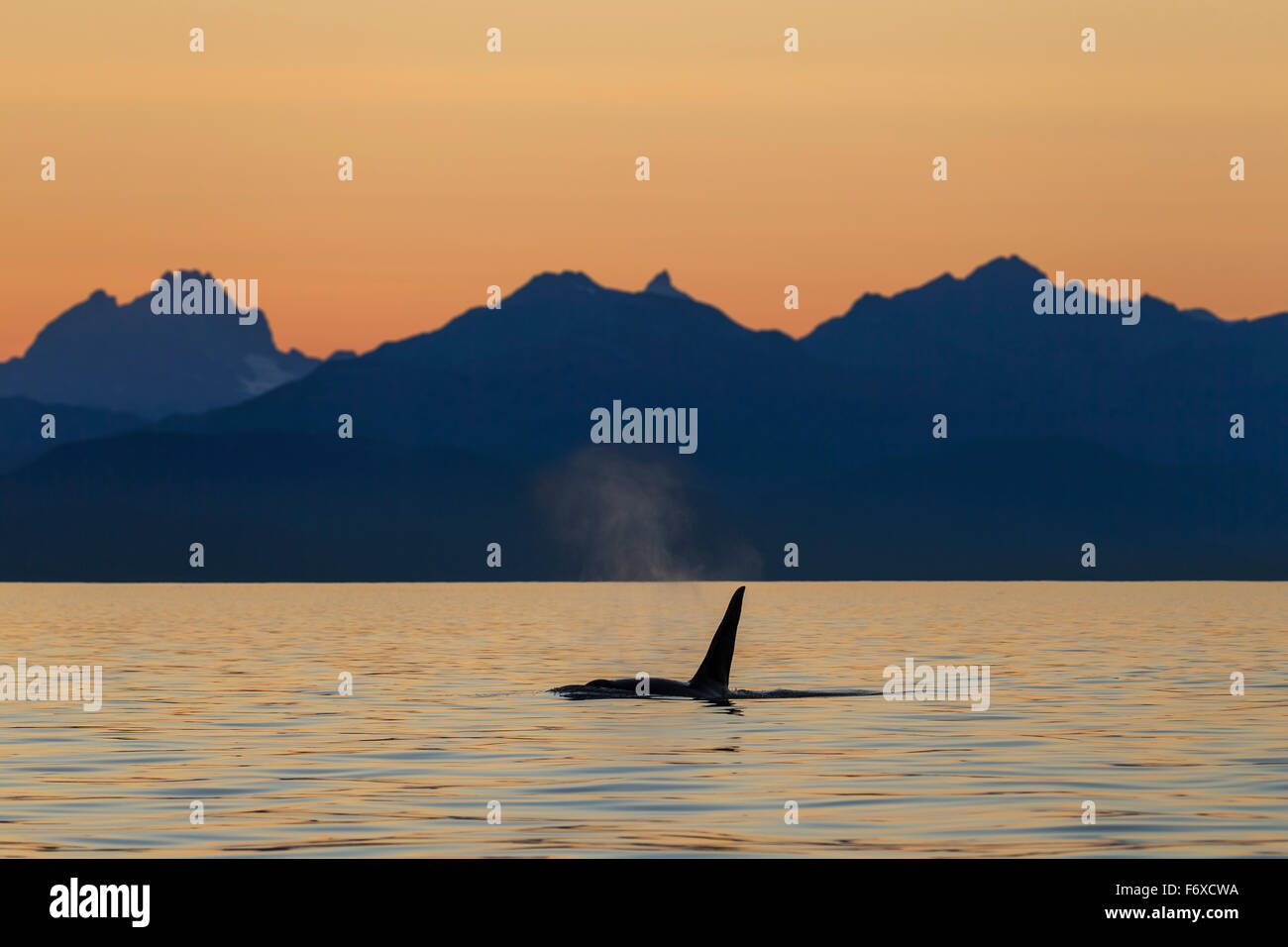 Orca Whale (Killer Whale) (Orcinus orca) surfaces in Lynn Canal on a summer evening, Inside Passage; Alaska, USA Stock Photo