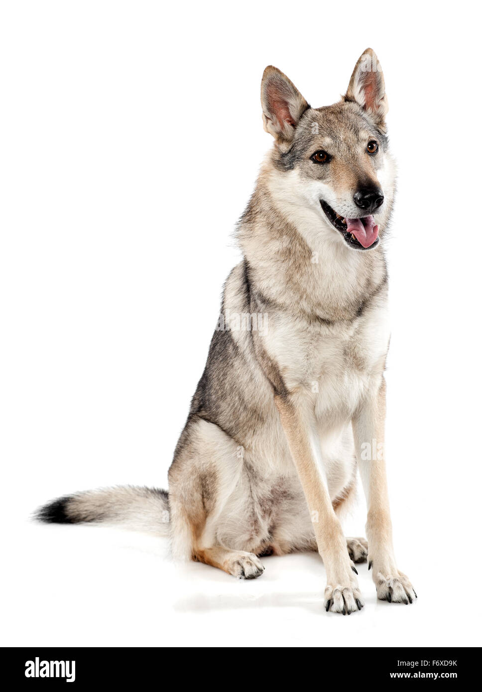 Czechoslovakian wolf dog or wolf-dog, a hybrid between a German Shepherd dog and Carpathian wolf - Stock Image