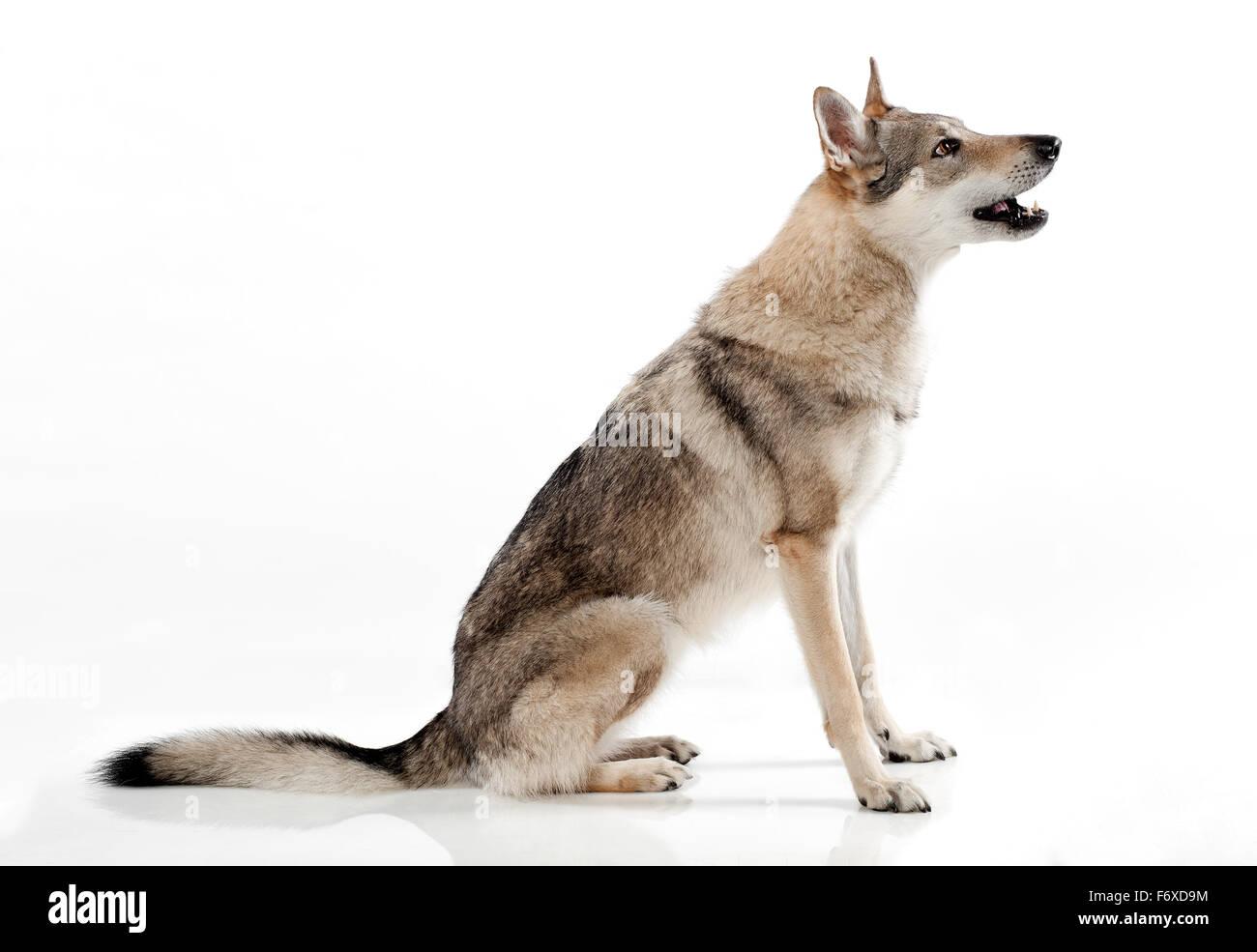 Czechoslovakian wolf-dog, a hybrid between a German Shepherd dog and Carpathian wolf Stock Photo