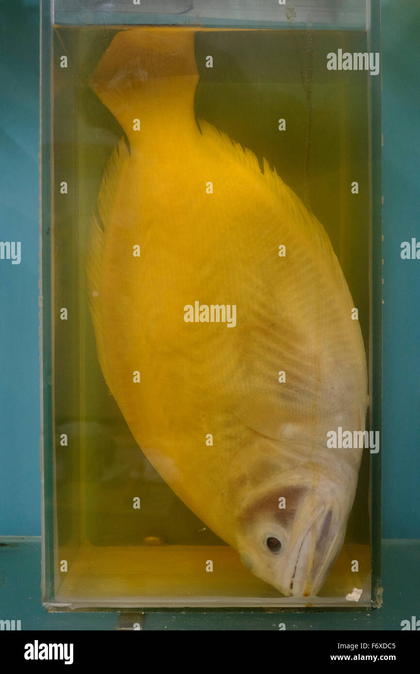 A fish preserved in formaldehyde liquid - Stock Image